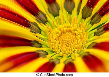 amarela, Gazania, flor, extrim, fim, cima