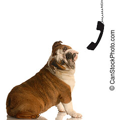 miscommunication - english bulldog with head tilted in...