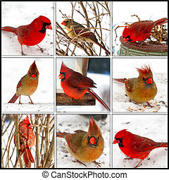 Red Cardinals Collage - Male/Female - Collage of both female...