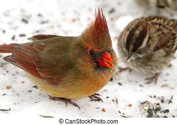 cardinal, gorrión