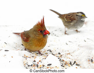 Sparrow and Femal Cardinal - Both birds searching for food...