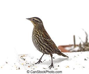 Speckled Bird in Snow