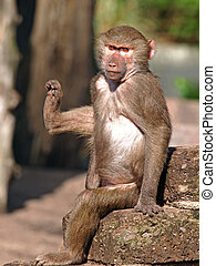 Baboon - A baboon youngster holding his right leg up