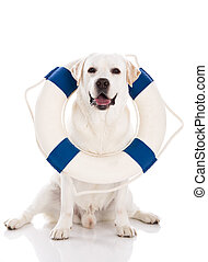 Labrador dog with a sailor buoy - Beautiful labrador...