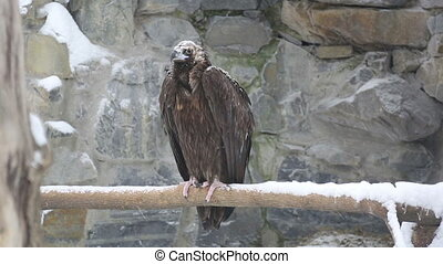 Vulture - Brown vulture in the Novosibirsk Zoo.