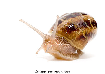 commun european snail Helix aspersa - Helix aspersa species...