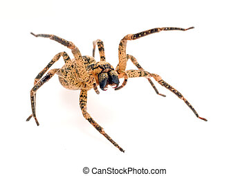 menacing spider - wolf spider attacking isolated on white...