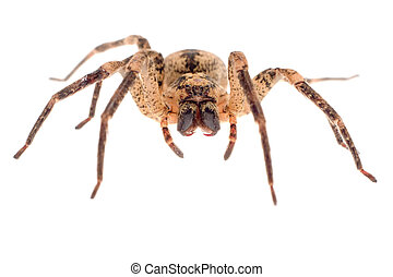 wolf spider closeup - menacing wolf spider front closeup on...