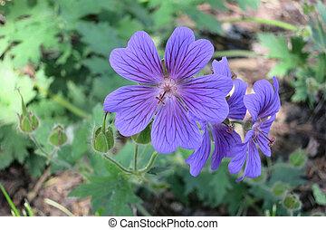 Geranium Magnificium - Cranesbill Flower