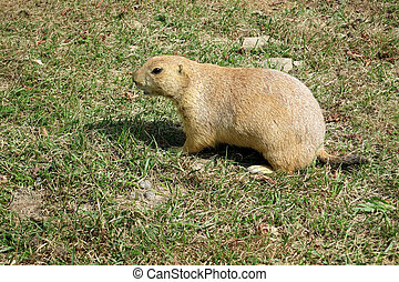 Black-tailed Prairie Dog (Cynomys ludovicianus) watching