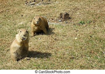 Two Watchful Black-tailed Prairie Dogs (Cynomys...