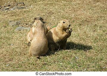 Three Black-tailed Prairie Dogs (Cynomys ludovicianus)