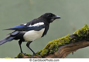 Magpie. - Magpie perched on a tree on green background.