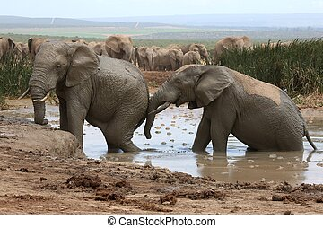 Elephant Mud Bath - African elephants cooling off and...