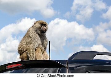 Monkey on the Roof of a Car - A baboon (Papio Anubis)...