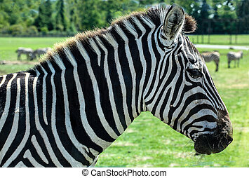 Grant's Zebra - Equus Quagga Boehmi - Focus on the head of a...
