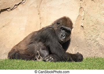 Male silverback gorilla, single mammal on grass - Gorillas...