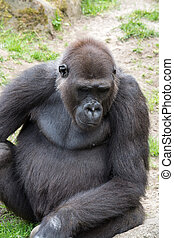 Male silverback gorilla, single mammal on grass - Gorillas...