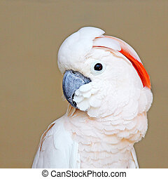 Portrait of a Moluccan Cockatoo on uniform background -...