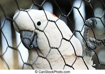 A Moluccan Cockatoo in a cage - A Moluccan Cockatoo (Cacatua...