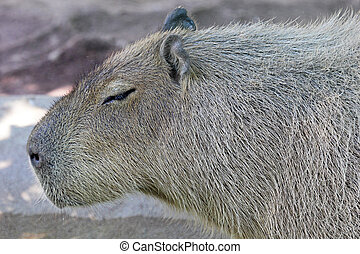 Side view of a capybara Hydrochoerus hydrochaeris