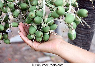 Fruit of the palms that is not yet ripe on hand. - The Fruit...