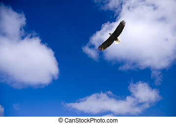 eagle - beautiful bald eagle is flying in a cloudy sky