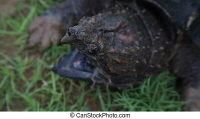 Alligator Snapping Turtle mouth - This is a video of an...