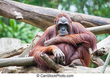 Sumatran Orang Utan Sitting and Staring