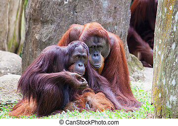 Orang Utan Couple - Sumatran Orang Utan Couple