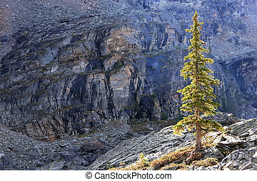 Backlit pine tree, Opabin Plateau, Yoho National Park,...