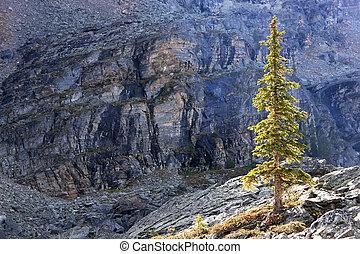 Backlit pine tree, Opabin Plateau, Yoho National Park,...