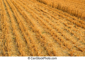 Grain field after harvesting