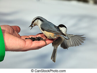 Birds on the hand - Nutcracker and chickadee on the human...