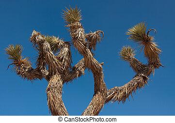 Yucca (joshua tree)