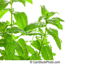 Fresh green Mint (Mentha) with water droplets isolated on...