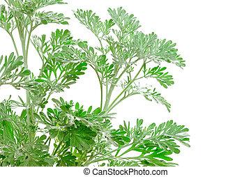 Fresh green Artemisia absinthium (absinthium, absinthe...