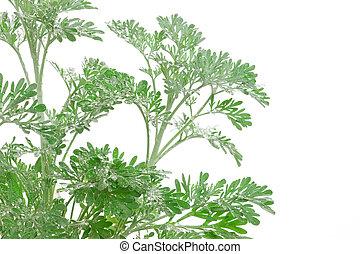 Artemisia, absinthium, (absinthium, absinthe, Ajenjo,...
