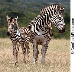 Baby Zebra and Mother - Cute baby plains zebra standing next...