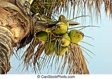 coconuts - looking up at cluster of coconuts growing on palm...