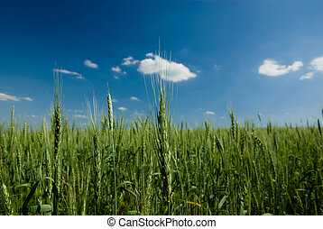 Rye field at summer noon (close-up).