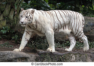 White Bengal Tiger Walking