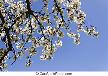 Cherry-tree branches - Cherry-tree blossom branches in...