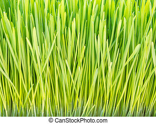 Wheat grass - Fresh, organic wheat grass for sale at local...