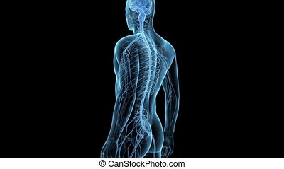 Spinal cord - Medical animation - spinal cord