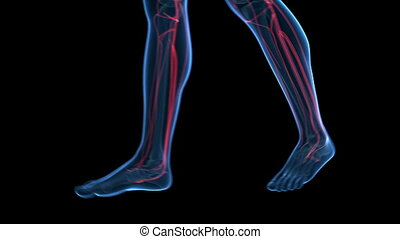 Visible vascular system - 3d animation of a walking guy -...