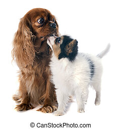 papillon puppy and cavalier king charles in front of white...
