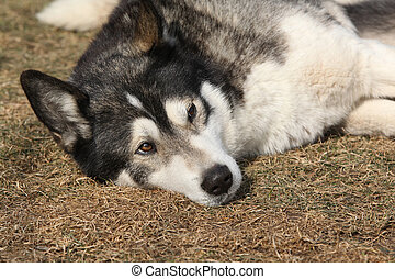 Gorgeous Alaskan Malamute in the garden in spring