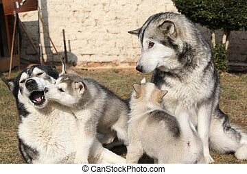 Alaskan malamute parents with puppies - Alaskan malamute...