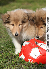 Gorgeous Scotch Collie puppies playing in the garden